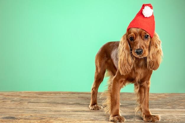 クリスマスプレゼント。イングリッシュコッカースパニエルの若い犬がポーズをとっています。
