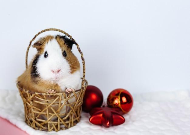 かごに座っているクリスマスモルモット