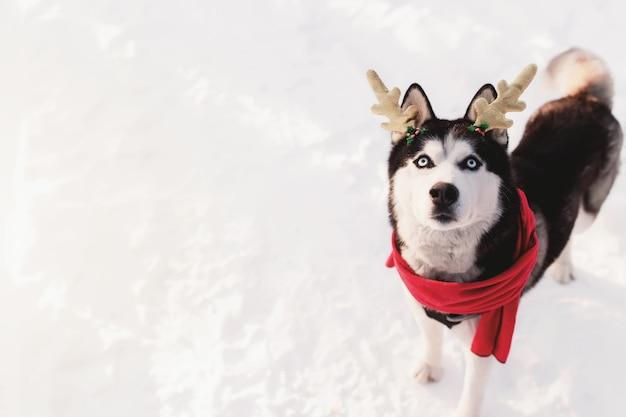 Рождественский хаски в красном шарфе с рогами оленя санта-клаус в снежном лесу
