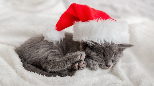 Christmas kitten in santa claus hat sleeping curled up on soft fluffy white plaid. christmas gray british cat portrait with pink paws. new year kitten cat sleeping. cozy sleep dream. long web banner.