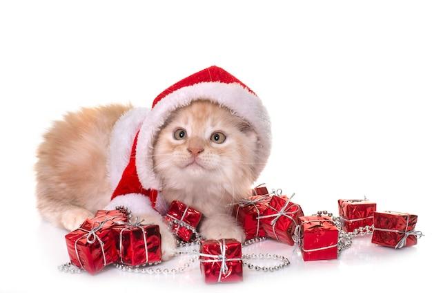 Christmas maine coon kitten