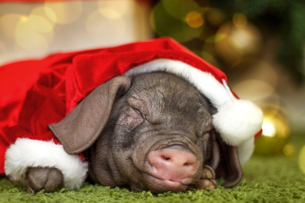 Christmas and new year card newborn pig in gift present box. decorations symbol of chinese