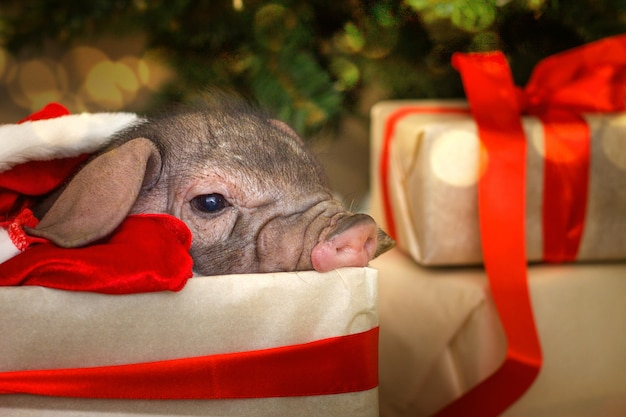 Christmas and new year card with cute newborn santa pig in gift present box.