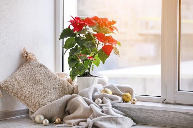 Christmas plant poinsettia near window in room