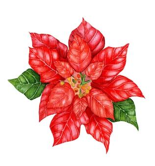 クリスマスポインセチア水彩イラスト。