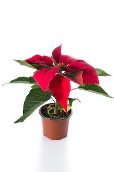Christmas poinsettia flower isolated on white