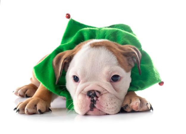 Рождественский щенок английского бульдога на белом фоне