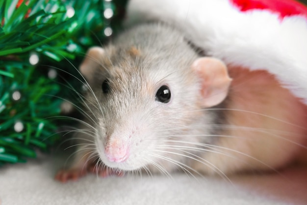 Christmas rat in red santa claus hat looking at camera. new year card mouse.