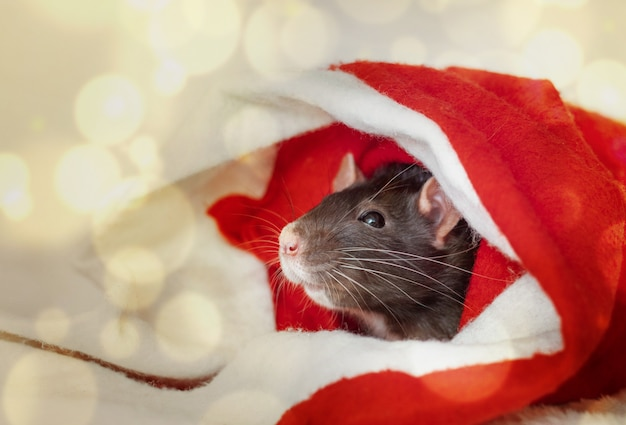 Christmas rat in red santa claus hat. new year card mouse. boke lights. copyspace.