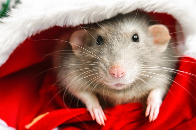 Christmas rat in red santa claus hat