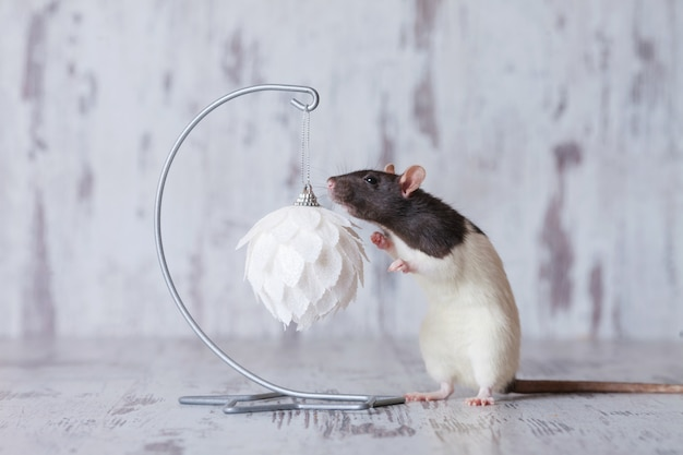 Christmas rat symbol of the new year 2020. year of the rat. chinese new year 2020.  . copyspace