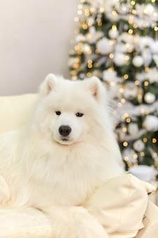 Christmas smiling dog samoyed. christmas, winter concept.
