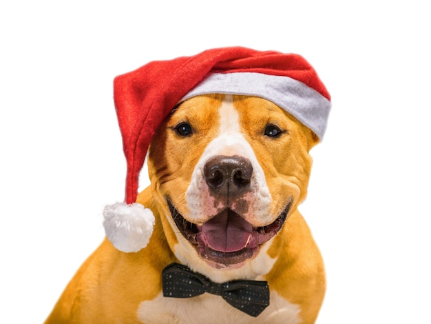Christmas staffordshire terrier in santa claus red santa hat on isolated white background