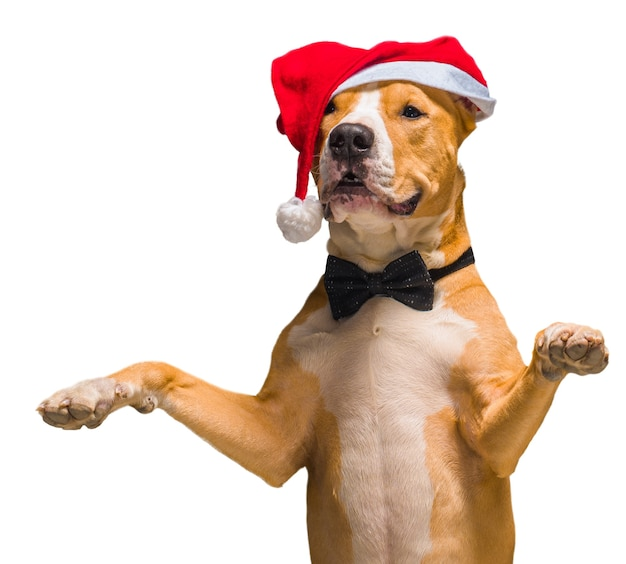 Christmas staffordshire terrier in santa claus red santa hat on an isolated white background