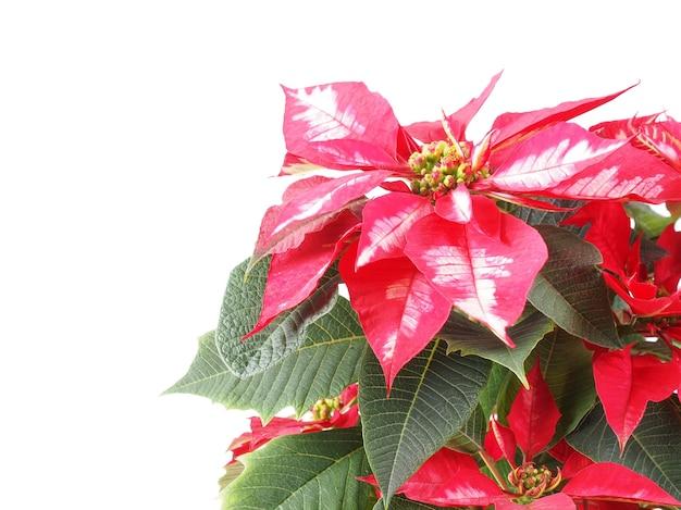 Рождественская звезда завод