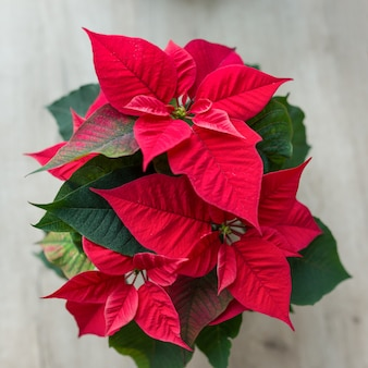Christmas symbol red poinsettia christmas flower in flowerpot.