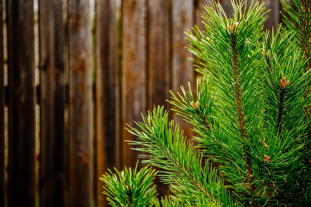 Christmas tree branches close up on brown wooden background