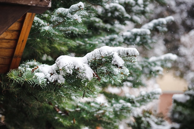 Christmas tree branches sprinkled with snow in winter