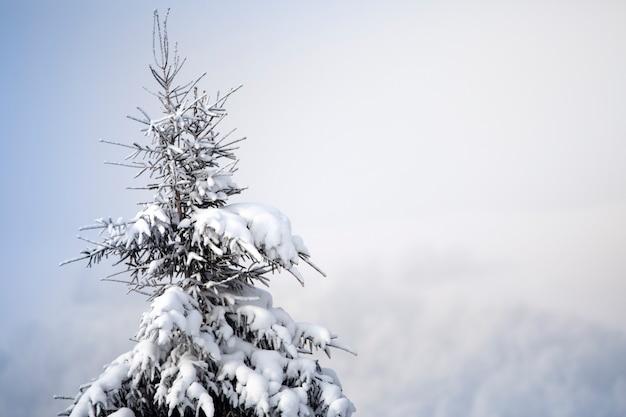 눈과 흰 서리의 크리스마스 트리, 익은 콘이 나뭇 가지에 매달려 있습니다. 선택적 초점.