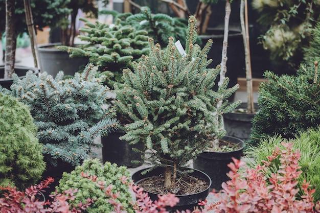 크리스마스 트리 샵. 판매를위한 냄비에 크리스마스 나무 가문비 나무입니다.