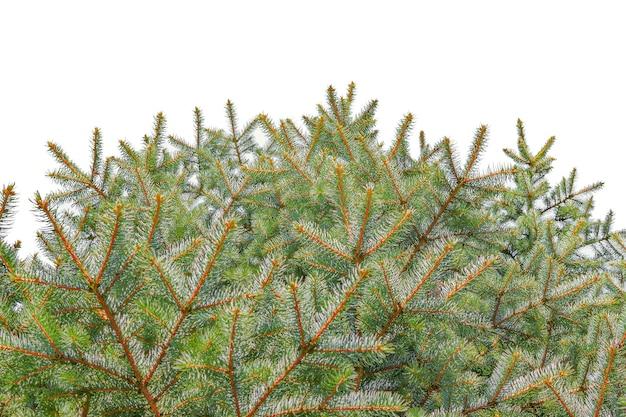 新年のテンプレートの白い背景で隔離のクリスマスツリートウヒの枝。