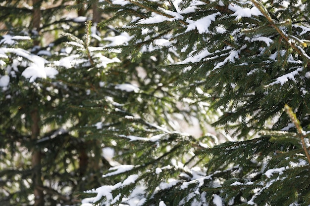 Christmas trees in the snow close-up. evergreet plant. high quality photo