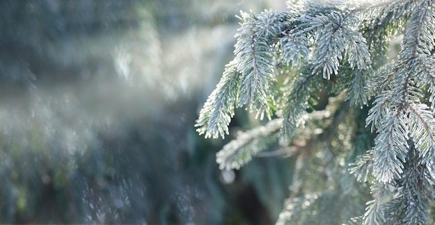 Christmas, winter with frosty thuja tree.