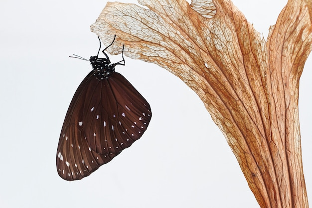 Chrysalis butterfly hanging on a leaf