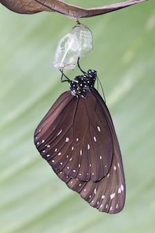 蛹蝶の葉に掛かっています。