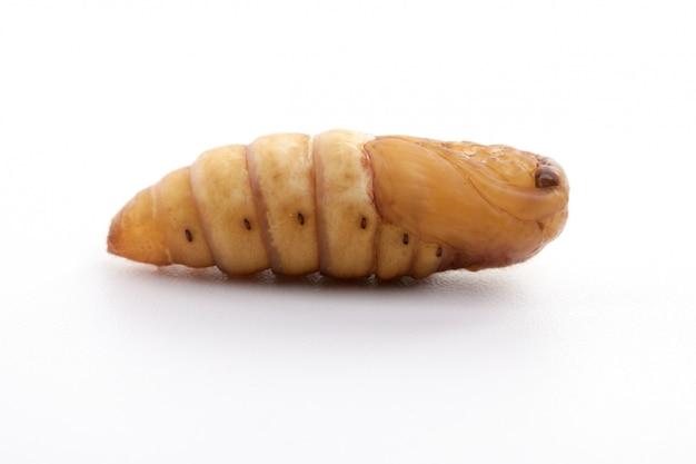 Chrysalis шелкопряда изолированные