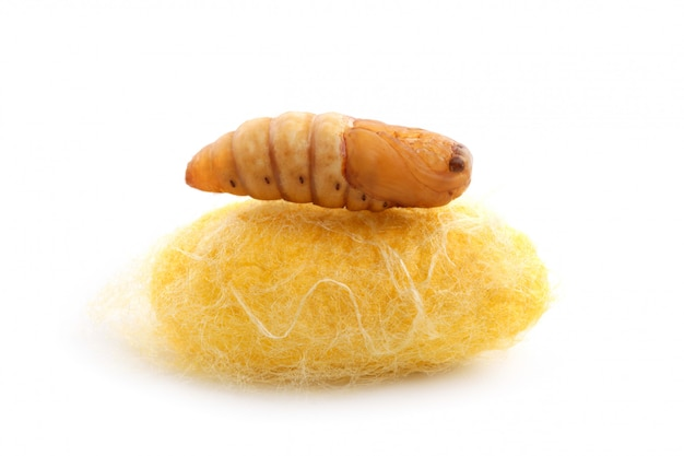 Chrysalis тутового шелкопряда на коконе шелкового червя
