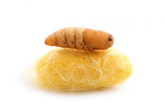 Chrysalis silkworm on silk worm cocoon