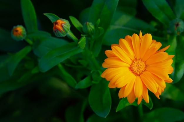 菊の鮮やかな花、庭の花、夏の野外レクリエーション。