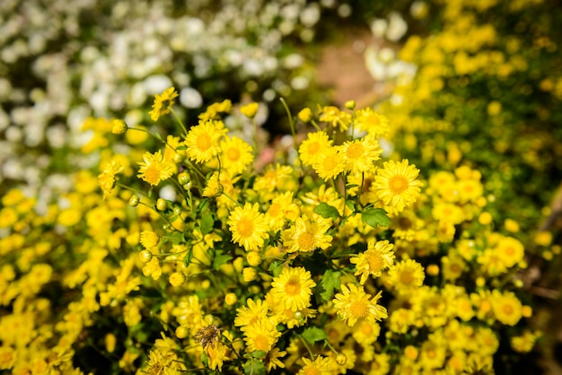 Chrysanthemum cultivation to produce water with chrysanthemum tea at chiang mai, thailand.