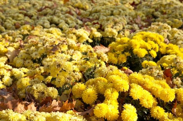 菊の花秋の背景とabscised葉