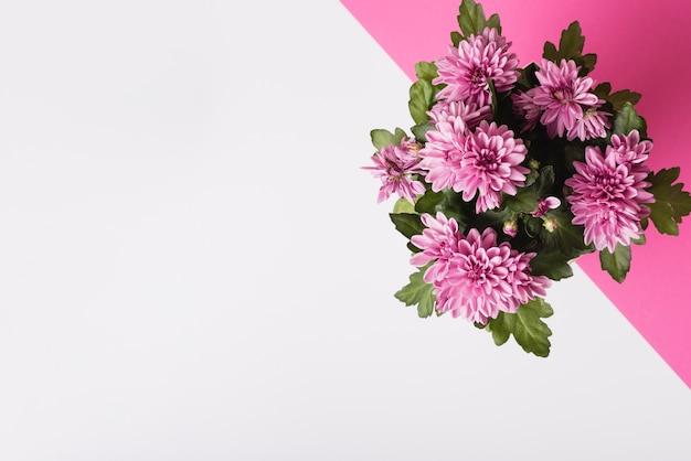Chrysanthemum flower bouquet on white and pink background