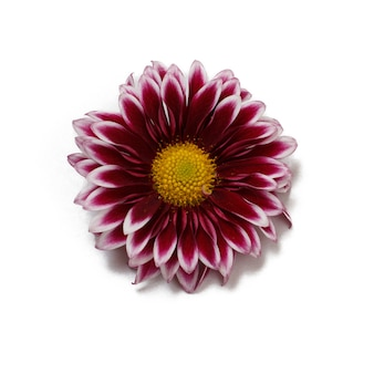 Chrysanthemum flower bud on white isolated background. top view.