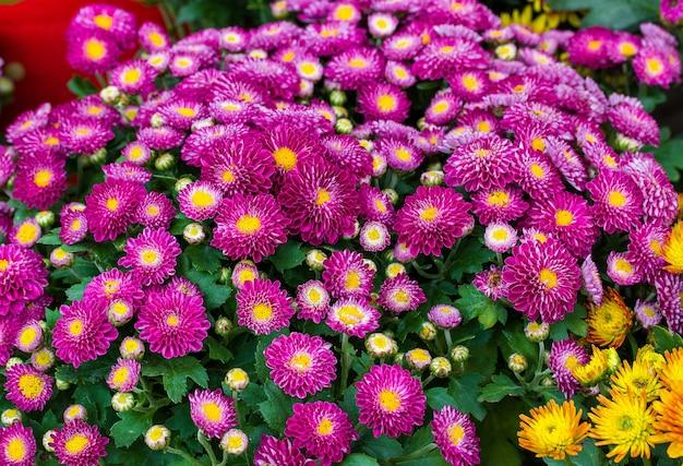 菊の花。菊紫。