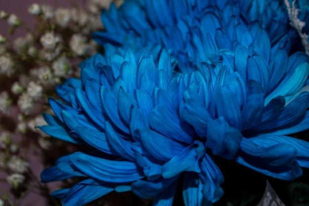 Цветок хризантемы крупным планом хризантема