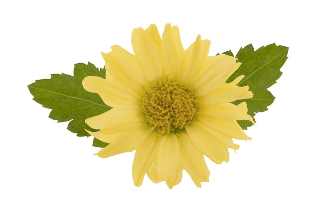 Chrysanthemum flower and green leaf isolated on white wall .top view ,flat lay.