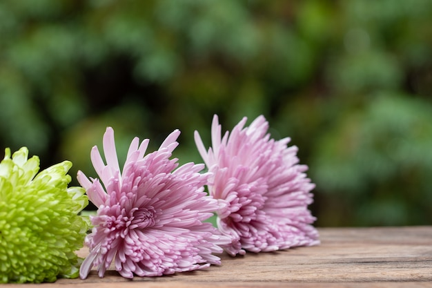 Chrysanthemum flower laying on wooden floor with copy space.