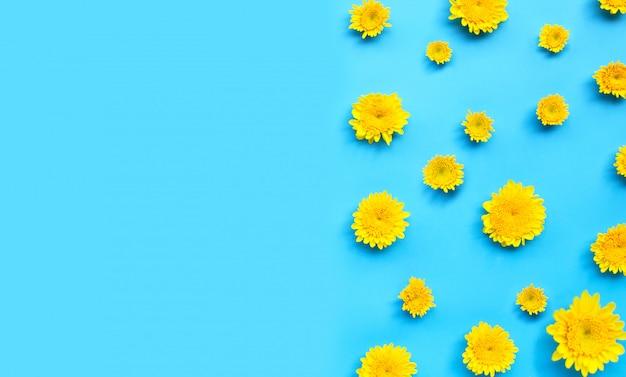Цветок хризантемы на синем фоне.