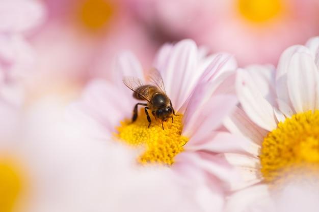 Chrysanthemum flower with a bee in garden