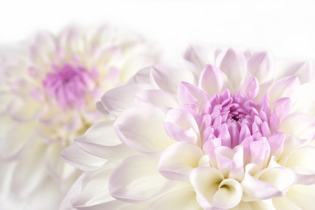 Цветок хризантемы.