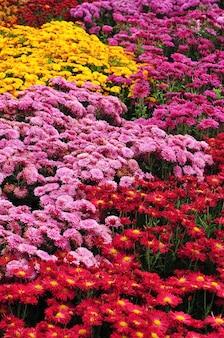 Chrysanthemum flowers background