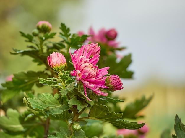 庭には菊の花が咲いています。