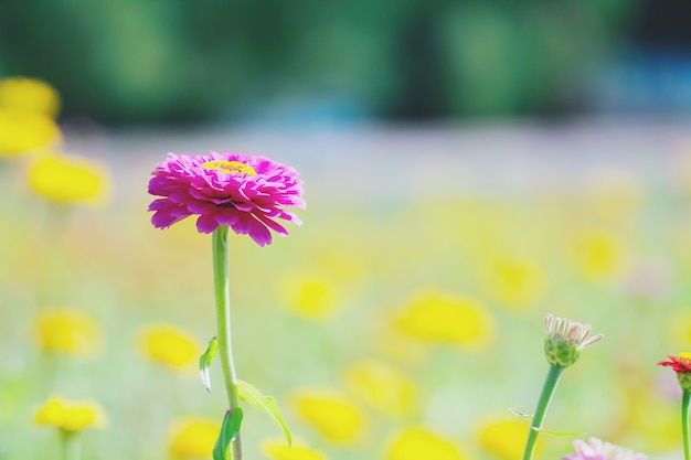 Chrysanthemum flowers close up.