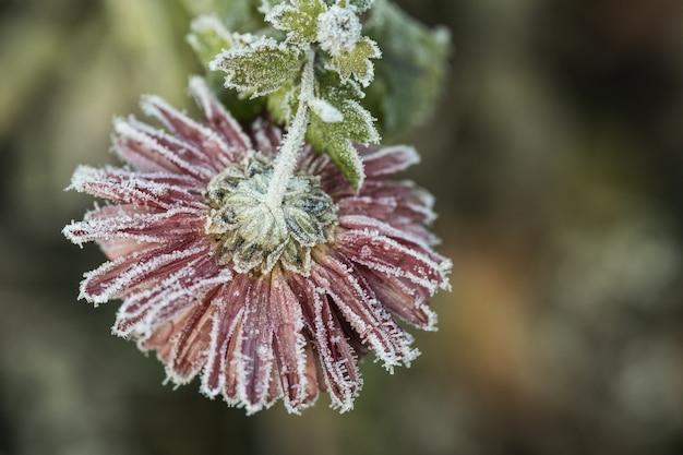 霜に覆われた菊の花。