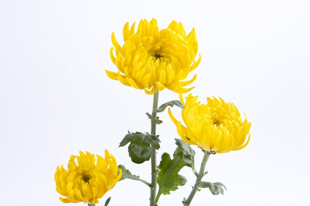 Chrysanthemum flowers isolated on a white wall