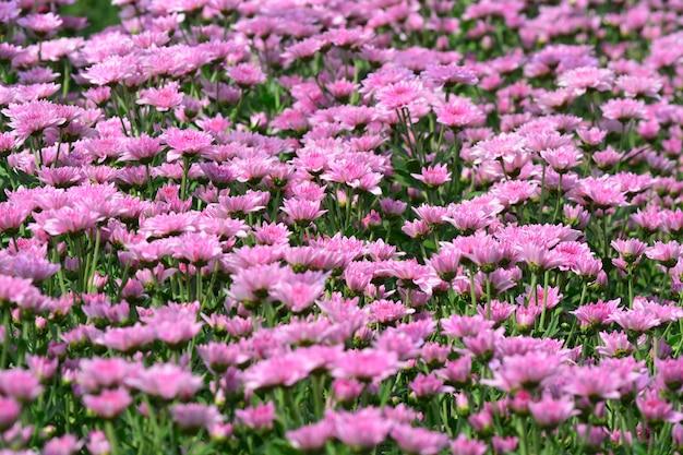 Цветы хризантемы в саду